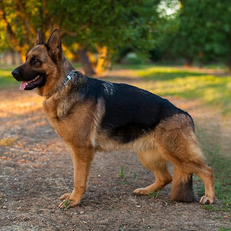 bay area german shepherd german shepherd puppies for sale near bay area nadelhaus 3484