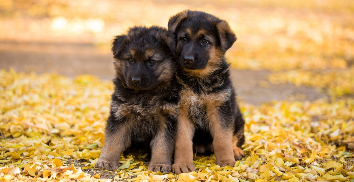 Long Coat Haired German Shepherds And Puppies Nadelhaus